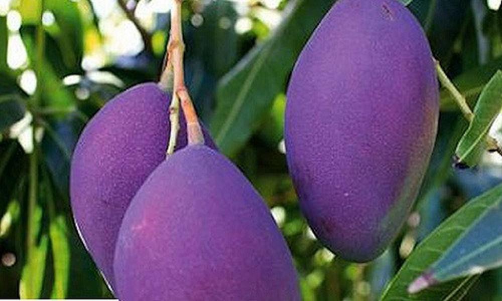 Photo of An Giang: Đưa quả xoài Ba Màu xuất ngoại