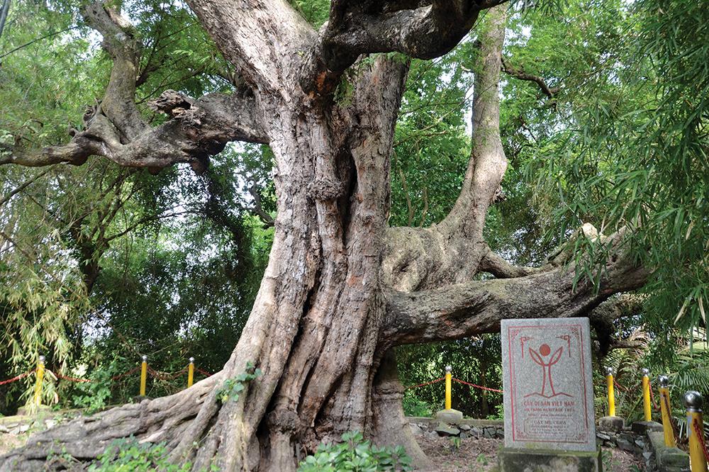 Photo of Những cây di sản Việt Nam ở An Giang